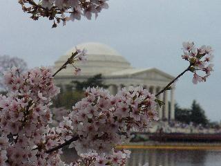 Festival des cerisiers en fleur de Washington