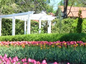 Tulipes-Ottawa 005